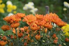 Chrysanthème en Thaïlande Photographie stock