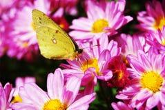Chrysanthème et papillon pourpres images libres de droits
