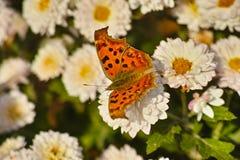Chrysanthème et papillon pourpres Photo libre de droits