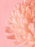 Chrysanthème fleurissant avec le filtre en pastel Images libres de droits