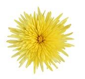 Chrysanthème jaune Images libres de droits
