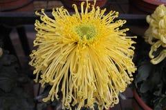 Chrysanthème jaune Photographie stock