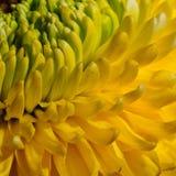 Chrysanthème jaune Image libre de droits