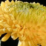 Chrysanthème jaune Image stock