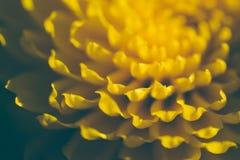 Chrysanthème jaune d'automne dans un jardin ensoleillé photo stock