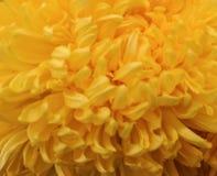 Chrysanthème jaune de fleur Image stock