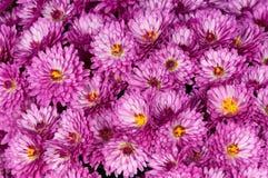 Chrysanthème magenta Images libres de droits