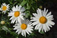 Chrysanthème maximum photographie stock