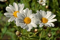Chrysanthème maximum, maximum de Leucanthemum image libre de droits