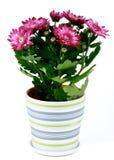 Chrysanthème mis en pot Images stock
