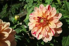 Chrysanthème orange Photo libre de droits