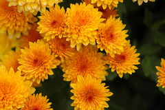 Chrysanthème orange Photographie stock libre de droits