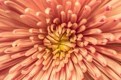 Chrysanthème pâle Images libres de droits