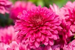 Chrysanthème pourpre Photographie stock libre de droits