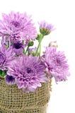 Chrysanthème pourpre. Photos stock