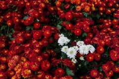 Chrysanthème que l'ovale mince laisse avec les bords dentelés et les feuilles molles et duveteuses et les feuilles vertes entière image stock