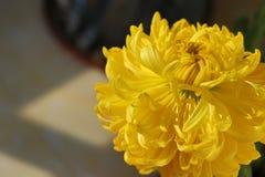 Chrysanthème qui se défraîchira Image libre de droits