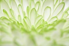 Chrysanthème recuit par blanc vert sur le fond noir Photo libre de droits