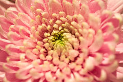Chrysanthème rose Photographie stock