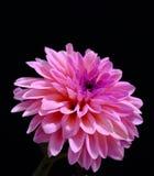 Chrysanthème rose Image stock