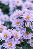 Chrysanthème rose Photos libres de droits