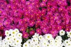 Chrysanthème rose et blanc Photo stock