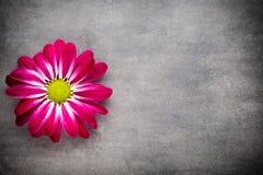 Chrysanthème rose sur les milieux jaunes Image libre de droits