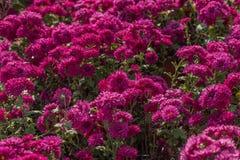 Chrysanthème rouge fleurissant en automne Photos stock