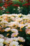 Chrysanthème (Shannon Xi Yun du sud) Photographie stock