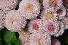 Chrysanthème Tagete de souci photos stock