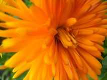 Chrysanthème - une fleur orange dans la macro vue photos stock