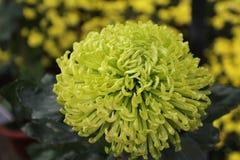 Chrysanthème vert Photographie stock libre de droits