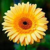 Chrysanthèmes Photo libre de droits