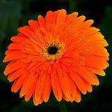 Chrysanthèmes Images libres de droits