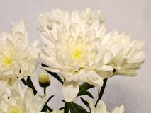 Chrysanthèmes blancs de jet Photo stock