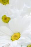 Chrysanthèmes blancs remplissant cadre Images stock
