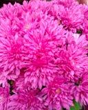 Chrysanthèmes cramoisis en gros plan, peu de fleurs de macro photos libres de droits