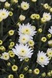 Chrysanthèmes dans le jardin photos libres de droits