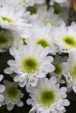 Chrysanthèmes dans le jardin photo libre de droits