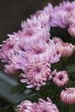 Chrysanthèmes dans le jardin image libre de droits