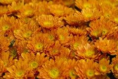 Chrysanthèmes dans le jardin photos stock
