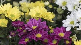 Chrysanthèmes dans le jardin photographie stock libre de droits