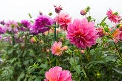 Chrysanthèmes dans le rose et le pourpre Photo stock