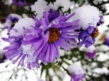 Chrysanthèmes dans une neige (d'or-marguerite) Photo stock