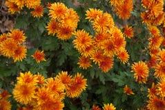 Chrysanthèmes du feu d'automne pour la photo entière images stock