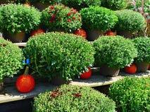 Chrysanthèmes et potirons à une ferme un jour d'automne dans Groton, le Massachusetts, le comté de Middlesex, Etats-Unis Automne  photos libres de droits