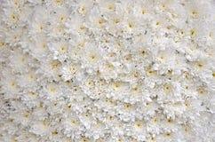 Chrysanthèmes fleuris blancs Image libre de droits