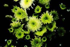 Chrysanthèmes fleurissant en hiver photographie stock