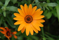 Chrysanthèmes jaunes photographie stock