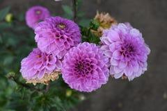 Chrysanthèmes lilas après une pluie avec des baisses de rosée sur des pétales Image stock
